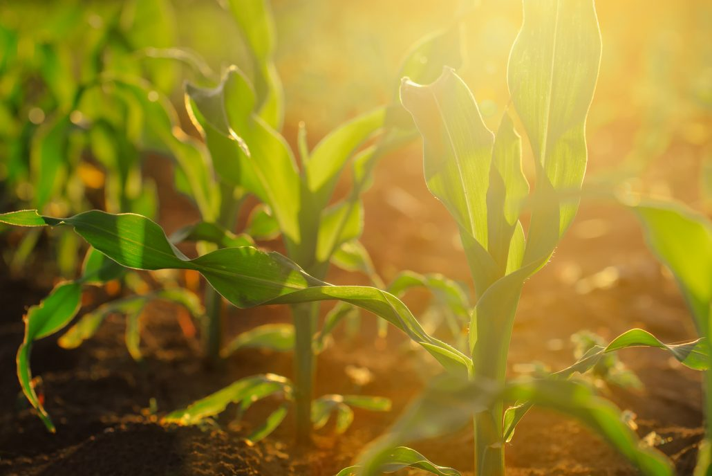 Agronomy Professionals Grow Thriving Crops Like This One