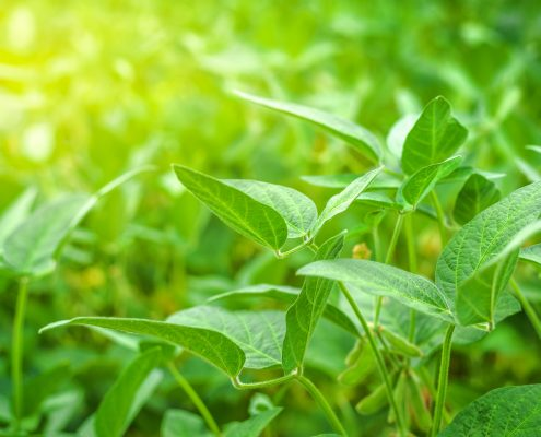 Comprehensive Crop Management Produces Thriving Soybean Crops